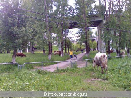 Коровий десант