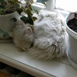 Белое спящее котэ